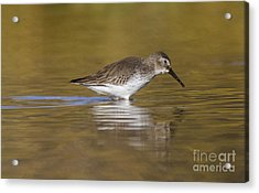 Dunlin In The Pond Acrylic Print