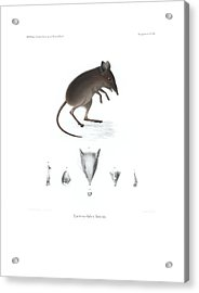 Acrylic Print featuring the drawing Dusky Elephant Shrew, Elephantulus Fuscus by J D L Franz Wagner