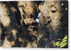 Dusky Horned Owl  Acrylic Print