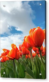 Dutch Tulips Near Keukenhof Acrylic Print