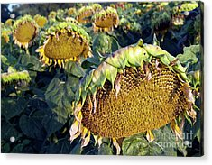 Dying Sunflowers In Field Acrylic Print by Sami Sarkis