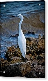 Eager Egret Acrylic Print by DigiArt Diaries by Vicky B Fuller
