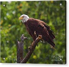 Eagle-2 Acrylic Print by Robert Pearson