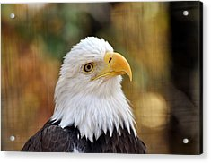 Eagle 6 Acrylic Print by Marty Koch