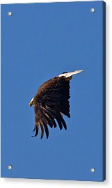 Acrylic Print featuring the photograph Eagle Dive by Linda Unger