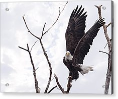 Eagle Acrylic Print by Everet Regal