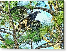 Acrylic Print featuring the photograph Eagle Fledgling 2017 by Deborah Benoit