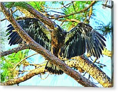 Acrylic Print featuring the photograph Eagle Fledgling II 2017 by Deborah Benoit