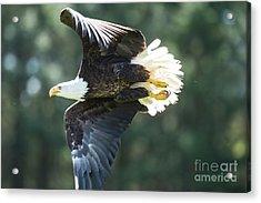 Eagle Flying 3005 Acrylic Print