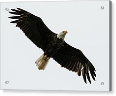 Eagle From Below Acrylic Print