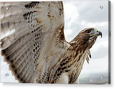 Eagle Going Hunting Acrylic Print