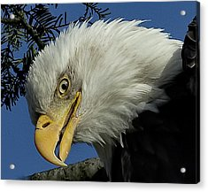 Eagle Head Acrylic Print by Sheldon Bilsker