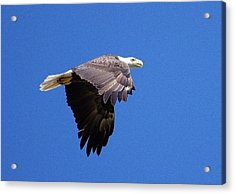 Eagle In Flight Acrylic Print by Don Youngclaus