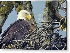 Acrylic Print featuring the photograph Eagle In Nest by Rod Wiens