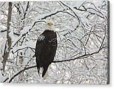 Eagle In Snow Acrylic Print by Tim Grams