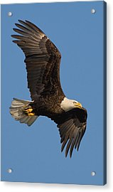 Acrylic Print featuring the photograph Eagle In Sunlight by William Jobes