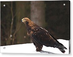 Eagle In The Snow Acrylic Print