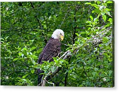 Eagle In The Tree Acrylic Print