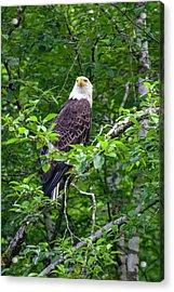 Eagle In Tree Acrylic Print