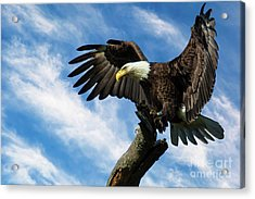 Eagle Landing On A Branch Acrylic Print