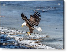 Eagle Landing Acrylic Print by Paul Freidlund