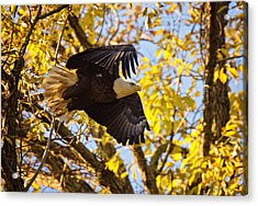 Acrylic Print featuring the photograph Eagle Launch by Angel Cher