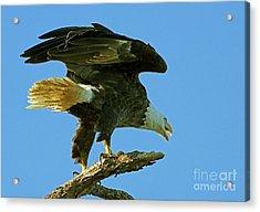 Eagle Mom, The Scolding Acrylic Print
