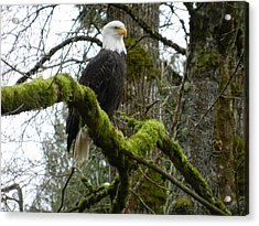 Eagle On A Mossy Limb Acrylic Print by Karen Molenaar Terrell