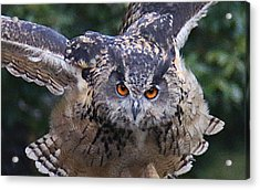 Eagle Owl Close Up Acrylic Print