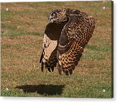 Eagle Owl On The Hunt 2 Acrylic Print