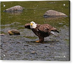 Acrylic Print featuring the photograph Eagle Prepares For Take-off by Debbie Stahre