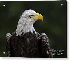 Eagle Profile 2 Acrylic Print