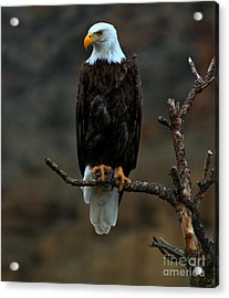 Eagle Scout Acrylic Print by Adam Jewell