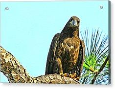 Eagle Series Here's Looking At You Acrylic Print by Deborah Benoit