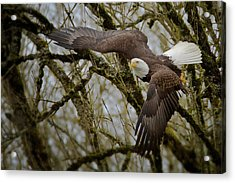 Eagle Take Off Acrylic Print
