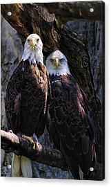 Eagles Acrylic Print by Edward Sobuta