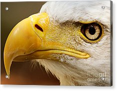 Eagles Eyes Acrylic Print