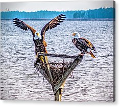 Acrylic Print featuring the photograph Eagles In Blackwater Refuge by Nick Zelinsky