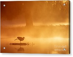 Earasian Coot At Sunrise Acrylic Print