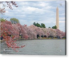 Early Arrival Of The Japanese Cherry Blossoms 2016 Acrylic Print