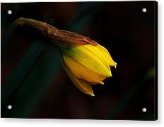 Early Daffodil Acrylic Print by Kathleen Stephens