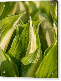 Early Hosta Acrylic Print by Charlet Simmelink