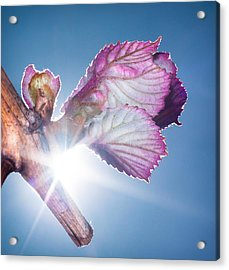 Acrylic Print featuring the photograph Early Morning Bud Break by Len Romanick