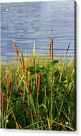 Early Morning Cattails Acrylic Print