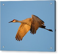 Acrylic Print featuring the photograph Early Morning Flight by Gerry Sibell