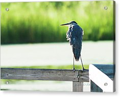 Early Morning Great Blue Heron Acrylic Print