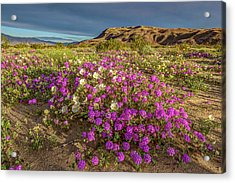 Early Morning Light Super Bloom Acrylic Print by Peter Tellone
