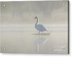 Acrylic Print featuring the photograph Early Morning Mute Swan - Cygnus Olor - On Serene, Misty Pond by Paul Farnfield