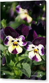 Early Morning Pansies Acrylic Print by Andrea Jean