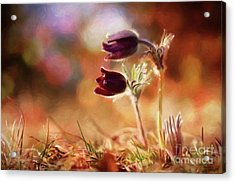 Early Morning Purple Pasque Acrylic Print by Chris Armytage